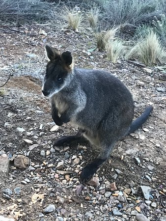 Berridale, Austrália: This local visited first thing Sunday morning - there is a second visitor on board too!