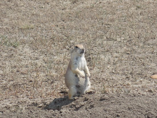 Prairie Dogs Galore