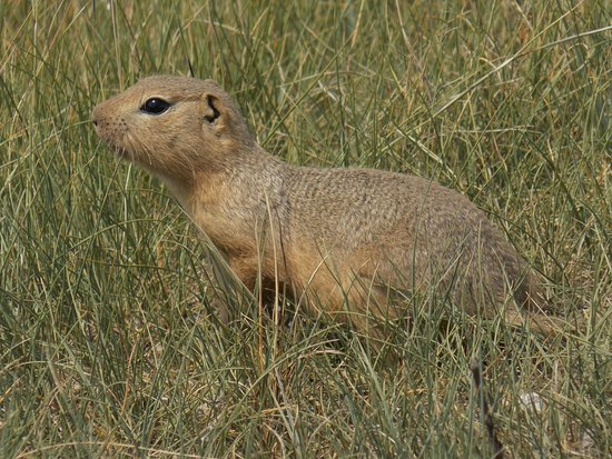 Prairie Dogs Galore