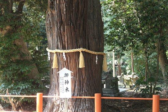 Ikisu Shrine: 御神木→ 樹齢約1000年と云われる夫婦杉