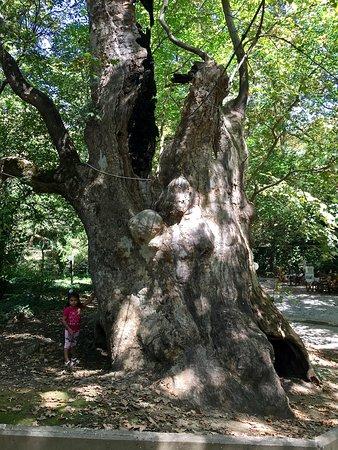 Aggitis, اليونان: Uralter, ausgestorbener Baum; Das kleine Mädchen an der Seite vermittelt die Dimension