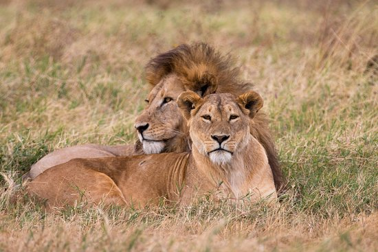 Lion And Lioness In Ngorongoro Crater Picture Of Tanzania Safari