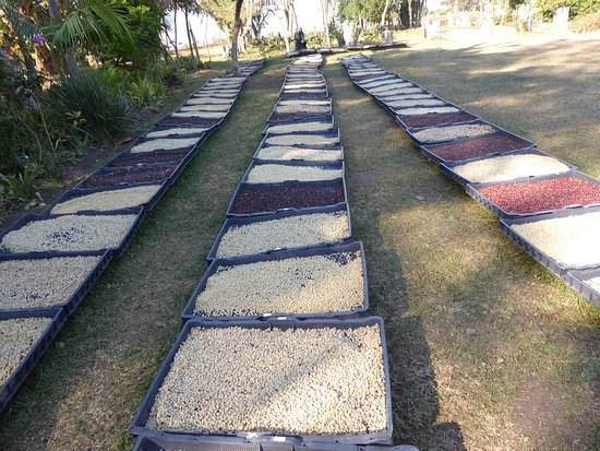 Port Edward, South Africa: Drying coffee