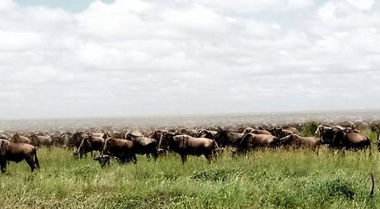 Kilimanjaro National Park, تنزانيا: The only phenomenon wildebeest mugration