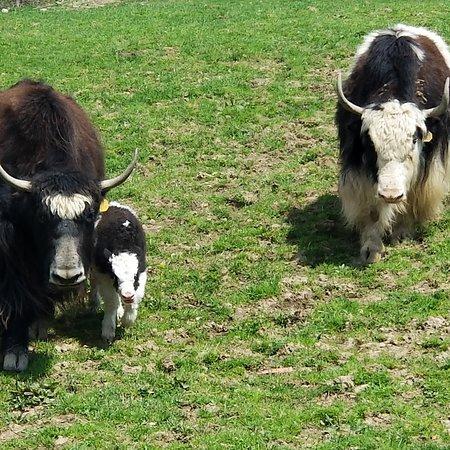 Varysburg, NY: a yak family