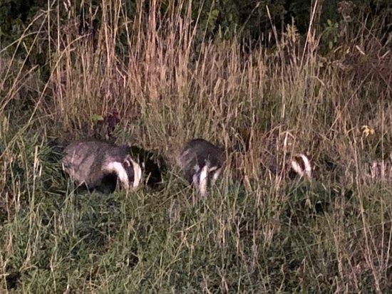 Badger Watch Dorset