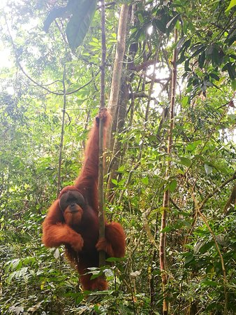 Bukit Lawang Guide: The big guy