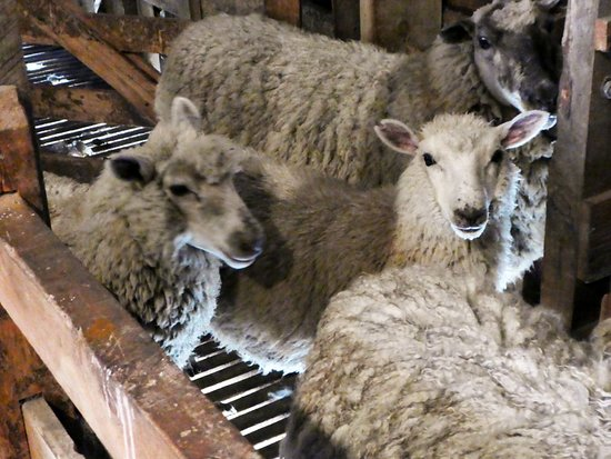 Sheep Shearing Experience Review Of Clifton Station Wool