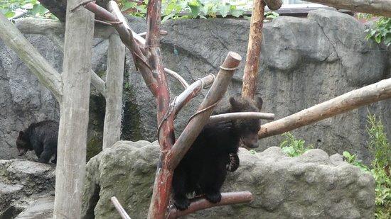 Noboribetsu Bear Park: コグマ