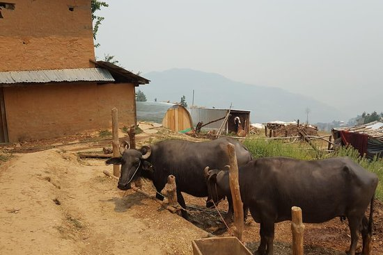 Bagmati Zone, Nepal: Our cow and buffalo