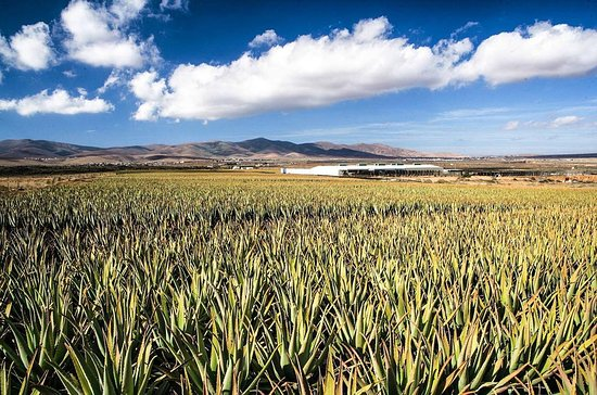 Antigua, Spain: Plantación de aloe vera Barbandesis miller