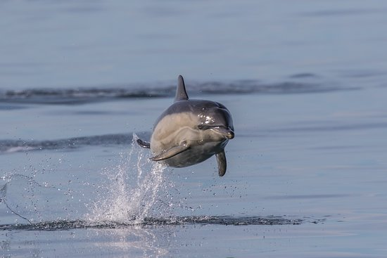 Tobermory, UK: Common dolphin