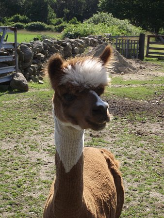 MA - DARTMOUTH - NOMQUID FARM - AL, THE ALPACA #1