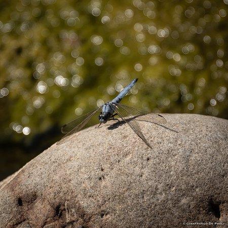 San Mauro Castelverde, Italy: Sul fiume s'incontrano diversi tipi di libellule colorate