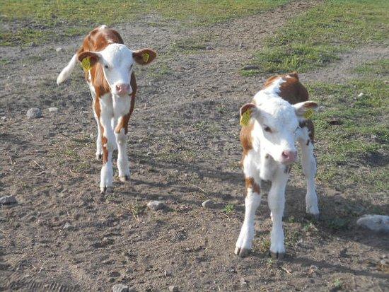 Delsbo, สวีเดน: Kalvar som väntar att få mjölk !