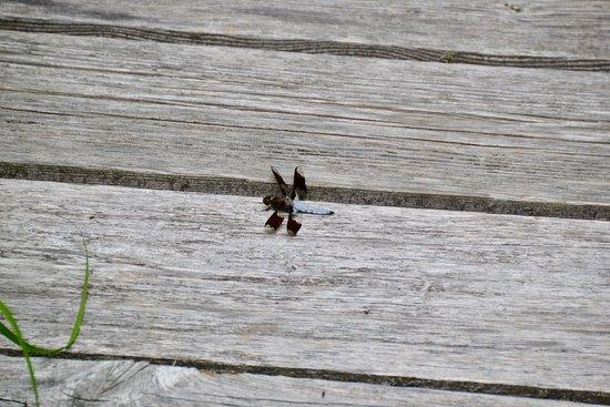 Kejimkujik National Park, Canada: Dragonfly on the boardwalk