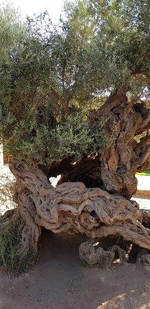 Olive Tree Museum of Vouves: Ancient olive trer