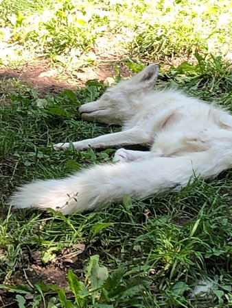 Zoo Idaho: The white fox that appeared to be in distress