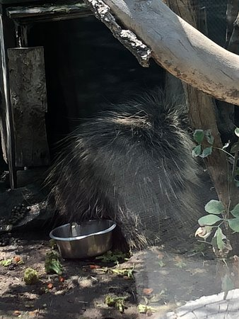 Zoo Idaho: Porcupine , never moved