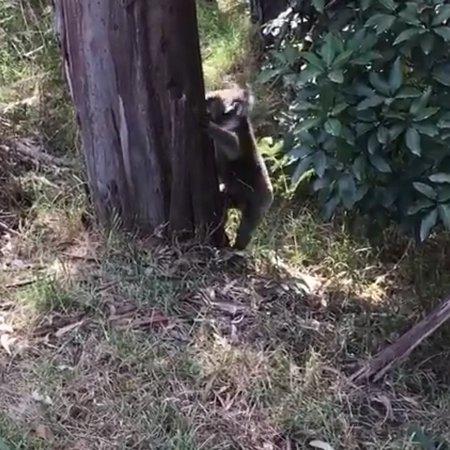 Kennet River Koala Walk: Koala climbing down the tree