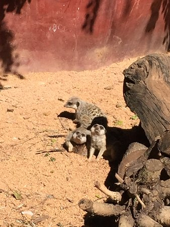 Perth Zoo : Meerkats