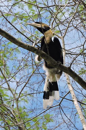 Cat Tien National Park, فيتنام: Great Hornbill, one of many exciting birds seen near Forest Floor Lodge