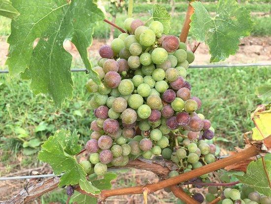Di Profio Estate Wines : Getting ready for harvest!