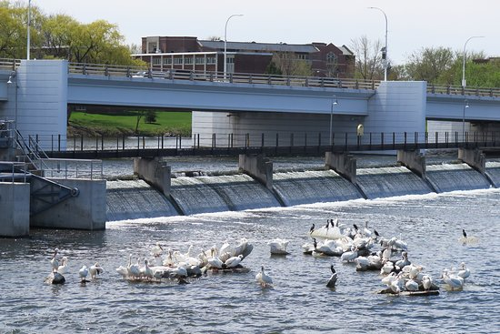 De Pere Riverwalk And Wildlife Viewing Area: American Pelicans