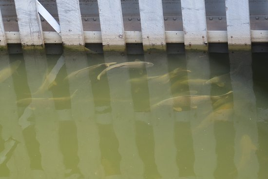 De Pere Riverwalk And Wildlife Viewing Area: Fish waiting for lock to open