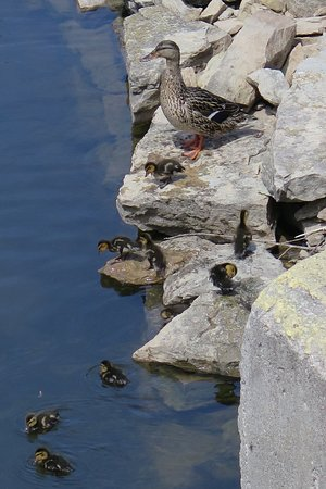 De Pere Riverwalk And Wildlife Viewing Area: Mom and baby mallards