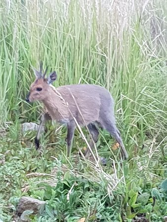 Mount Kenya: Cute deer (common duiker) visited our camp that evening.