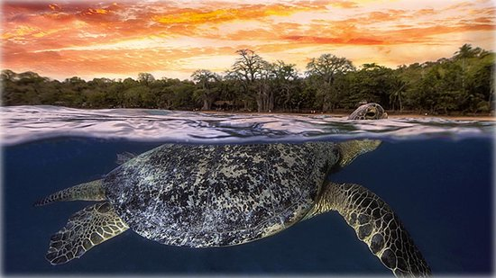 Green sea turtle at dusk, Mayotte, Indian Ocean