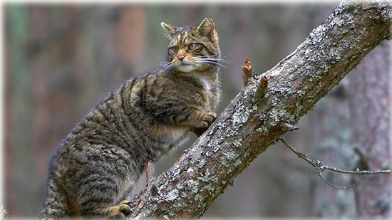 Aviemore and the Cairngorms, UK: A Scottish wildcat in Cairngorms National Park, Scotland