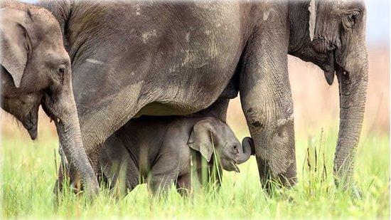 Ramnagar, Indien: Asian elephants at Jim Corbett National Park, India