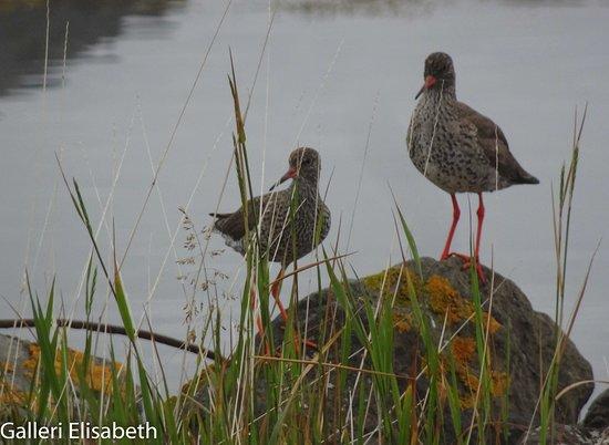 Hotel Reykjanes: Fåglar i strandkanaten
