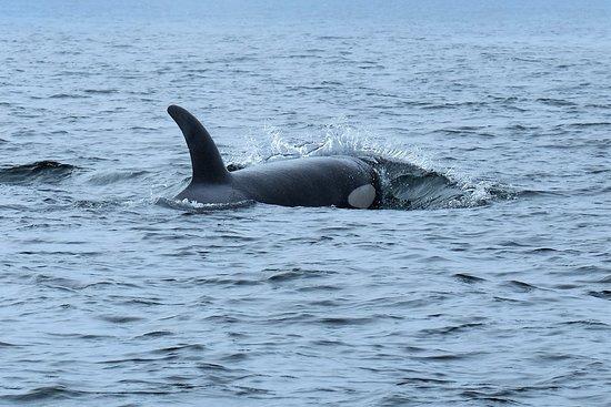 Moresby Island, Kanada: Orca off of Gwaii Haanas