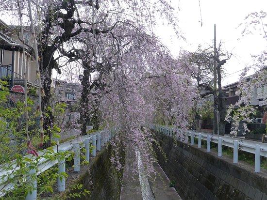 Shidarezakura of Sunagawabori