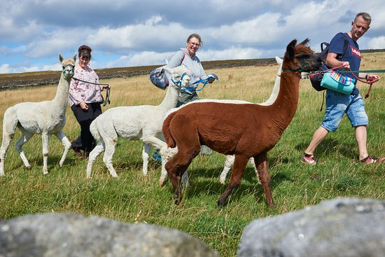 Thornwood: Alpaca Trekking & Care Farm