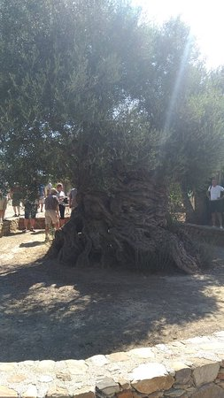The Monumental Olive Tree of Vouves