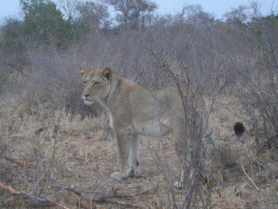 Biyamiti Bushveld Camp: lion