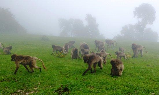 Debark, إثيوبيا: baboons in the mist