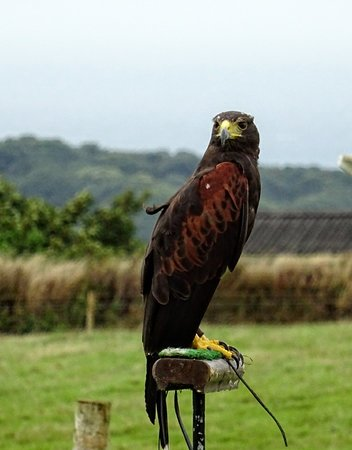 Borough Farm Sheepdog and Falconry Displays: Another bird of prey