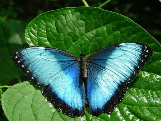 Mariposario la Casa de la Morpho Azul