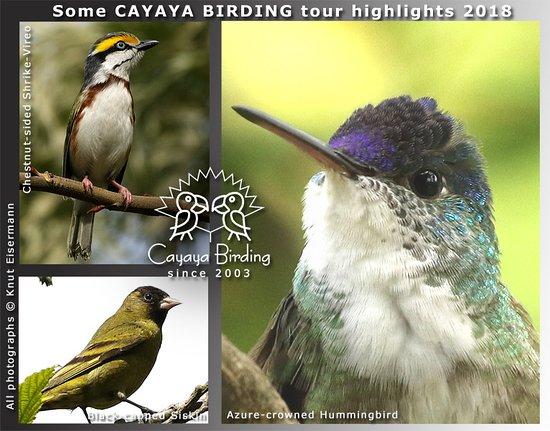 CAYAYA BIRDING tour highlights 2018: Chestnut-sided Shrike-Vireo, Black-capped Siskin, …
