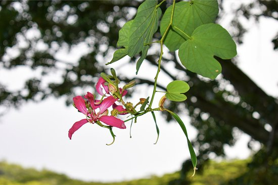 Cocotier Tours: Orchid tree