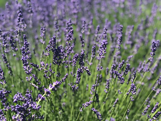 Flanders, NY: Lavender by the Bay