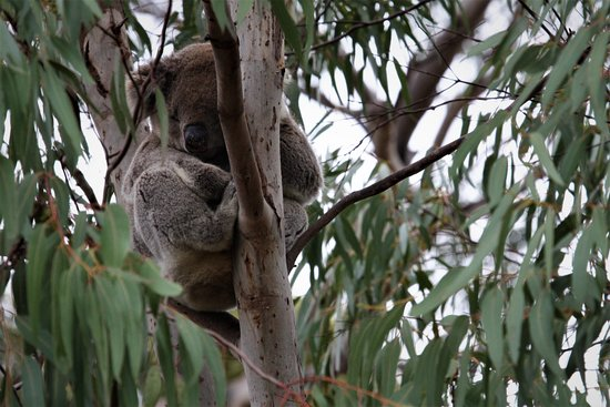 Flinders Chase, Australia: Koalas in the trees around the Visitor Centre