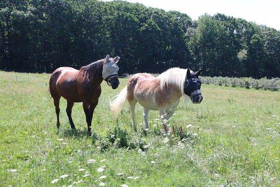 Lebanon, Maine: cavalli