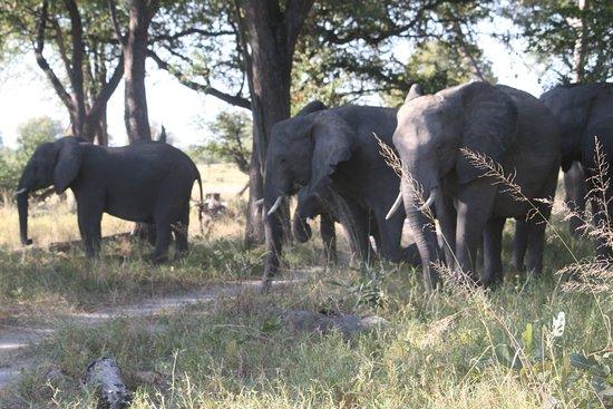 Makgadikgadi Salt Pan: Herds of elephant