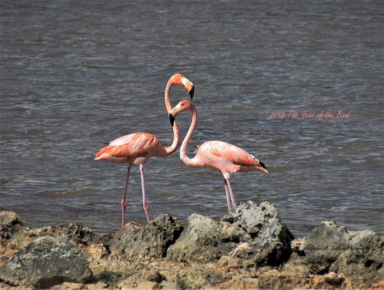 The Valley, Anguilla: 2 American Flamingos have been visiting Anguilla since March 24, 2018